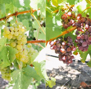 White Semillon or 'Groendruif' (left) mutates into Red Semillon (right) in the same block