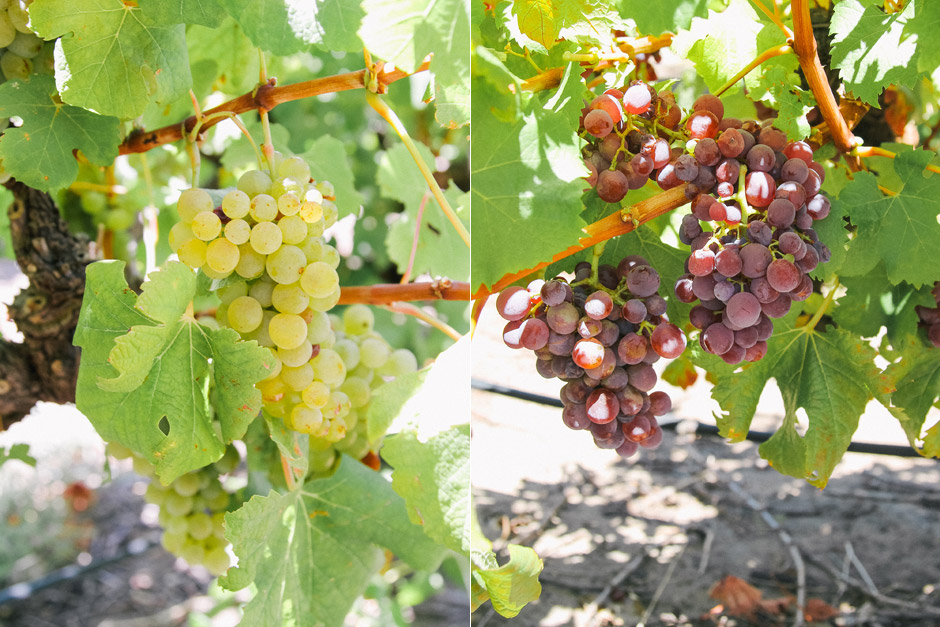 White and red Semillon on the vine